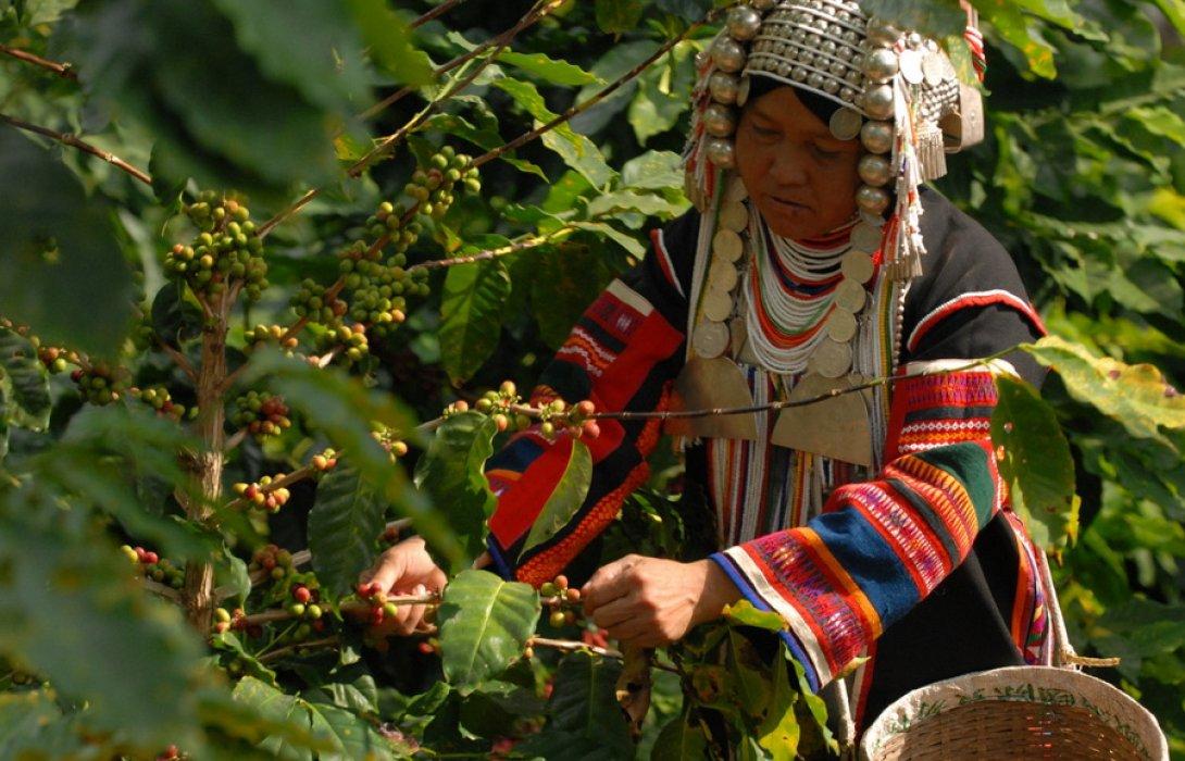 """กาแฟ """"ดอยตุง"""" จากดอยสู่ห้าง ส่งเสริมการสร้างรายได้ให้กับชุมชนท้องถิ่น"""