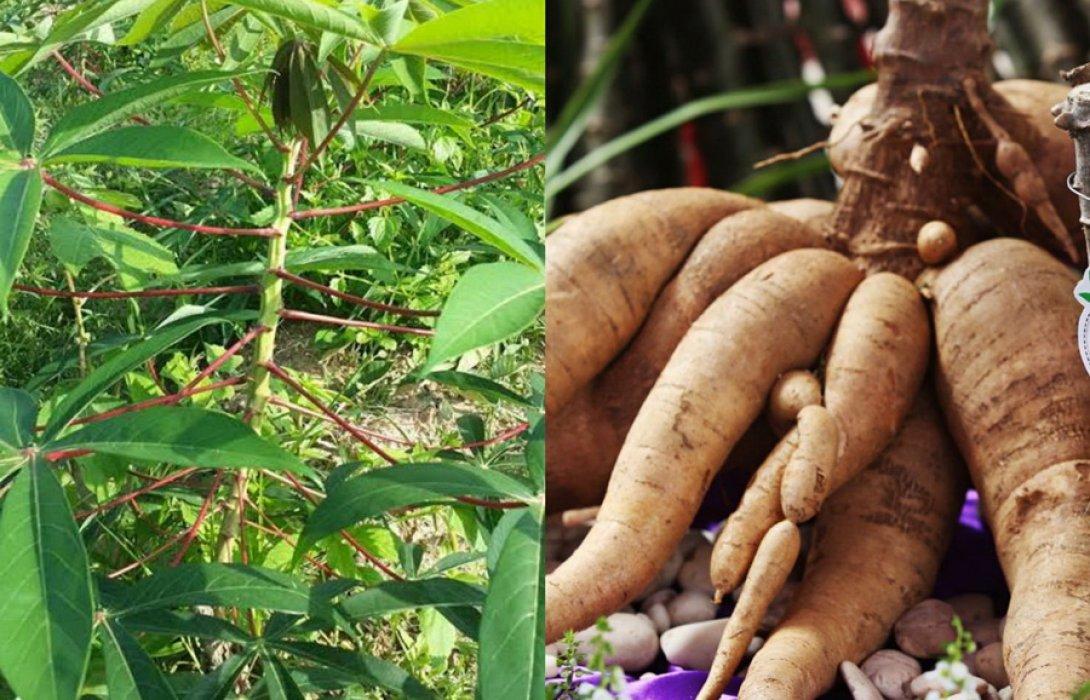 """""""เกษตรกรมันสำปะหลัง"""" หวั่นปีหน้าเดือดร้อนหนักผลผลิตลดกระทบ MOU ส่งออกไทยสู่จีนเหตุแบนพาราควอต"""