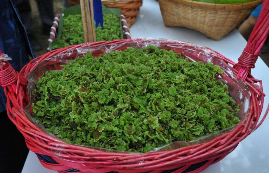 หนุนปลูกพืชแหนแดง ลดต้นทุนผลิตอาหารสัตว์