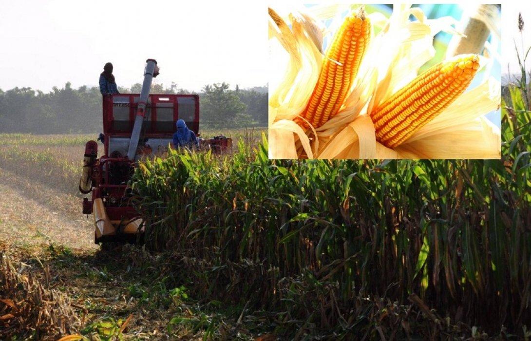 ซีพีเอฟจับมือเกษตรกรสร้างชุมชนต้นแบบ-ปลูกข้าวโพดปลอดเผา
