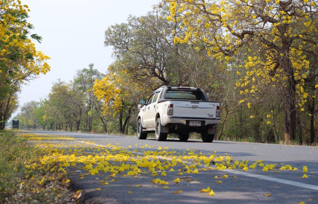 """กรมทางหลวง เชิญสัมผัสถนนสายดอกไม้ """"เหลืองปรีดียาธร"""" จ.สุพรรณบุรี"""